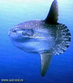фото рыбы луны
