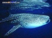 Китовая акула в Садах Королевы